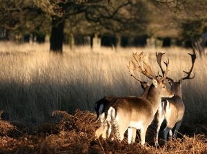 800px-Two_deer_at_Richmond_Park_London