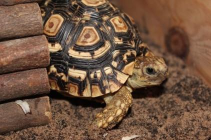 Leopard_Tortoise